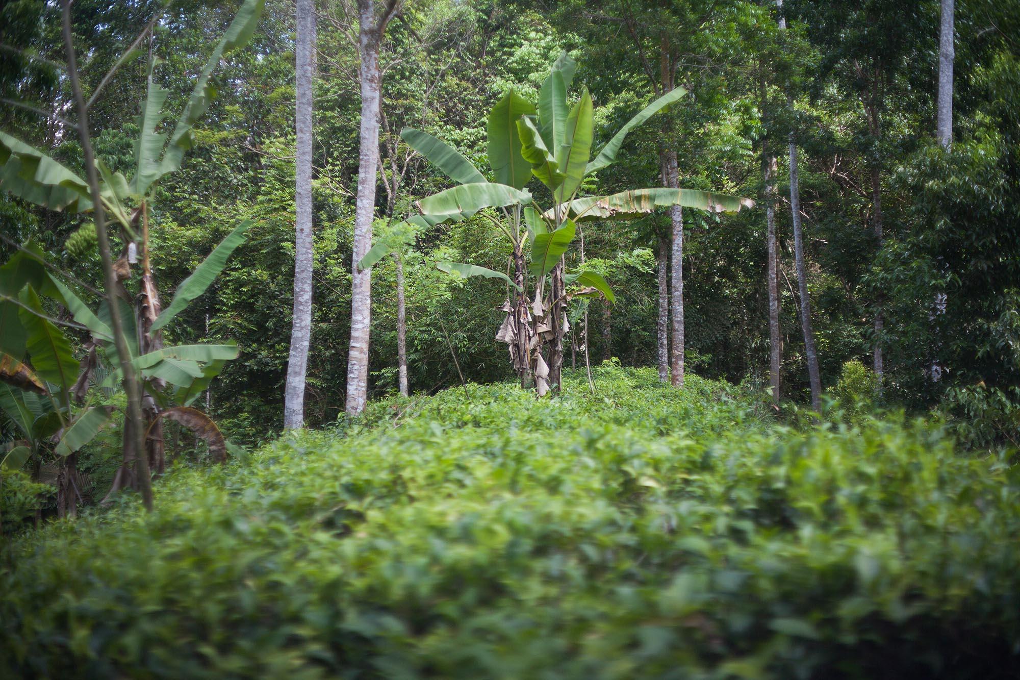 Plantacje herbaciane otacza bujna roślinność. Również bananowce!