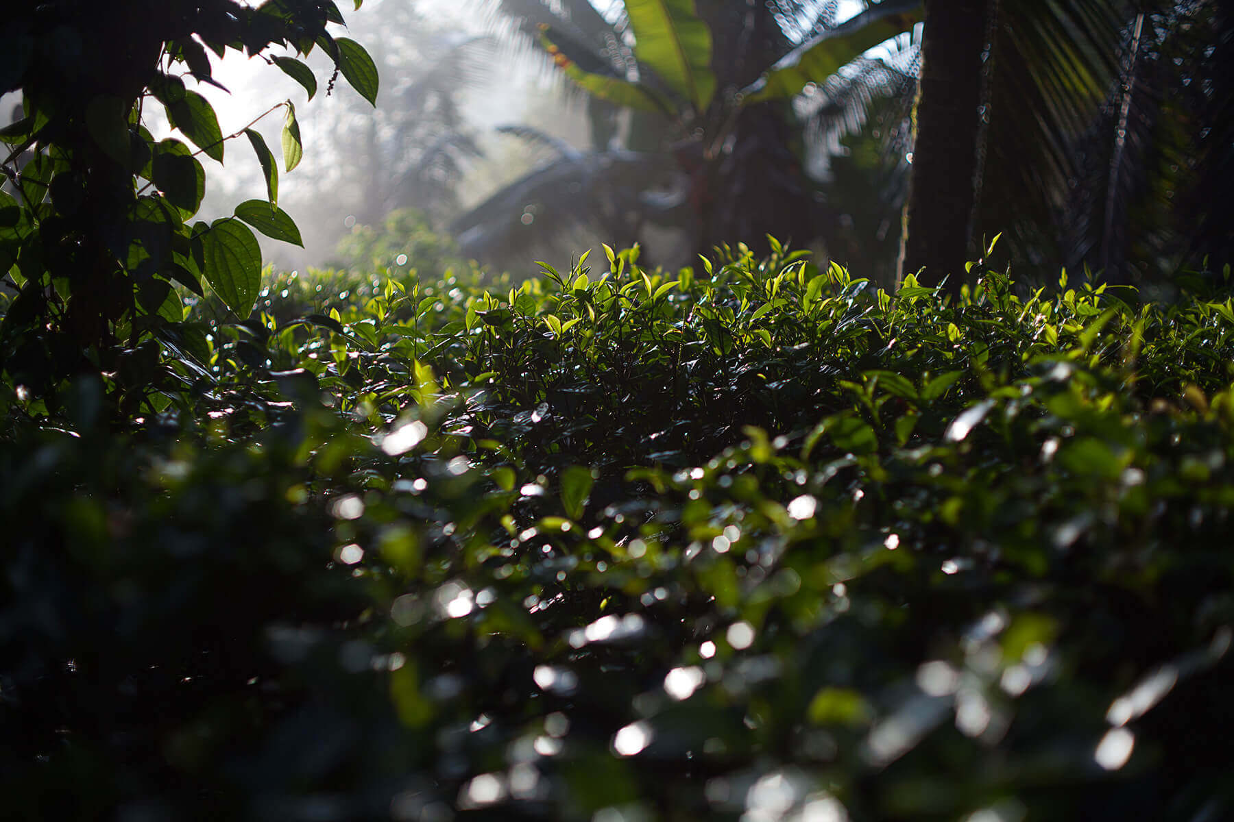Herbata o poranku. Pole herbaciane w sercu lankijskiej dżungli.