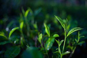 Dwa listki i pączek herbaciany, używane są do produkcji najlepszej czarnej cejlońskiej herbaty.