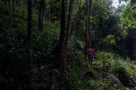 Przewodnik przecierający szlak przez herbacianą dżunglę na Sri Lance.