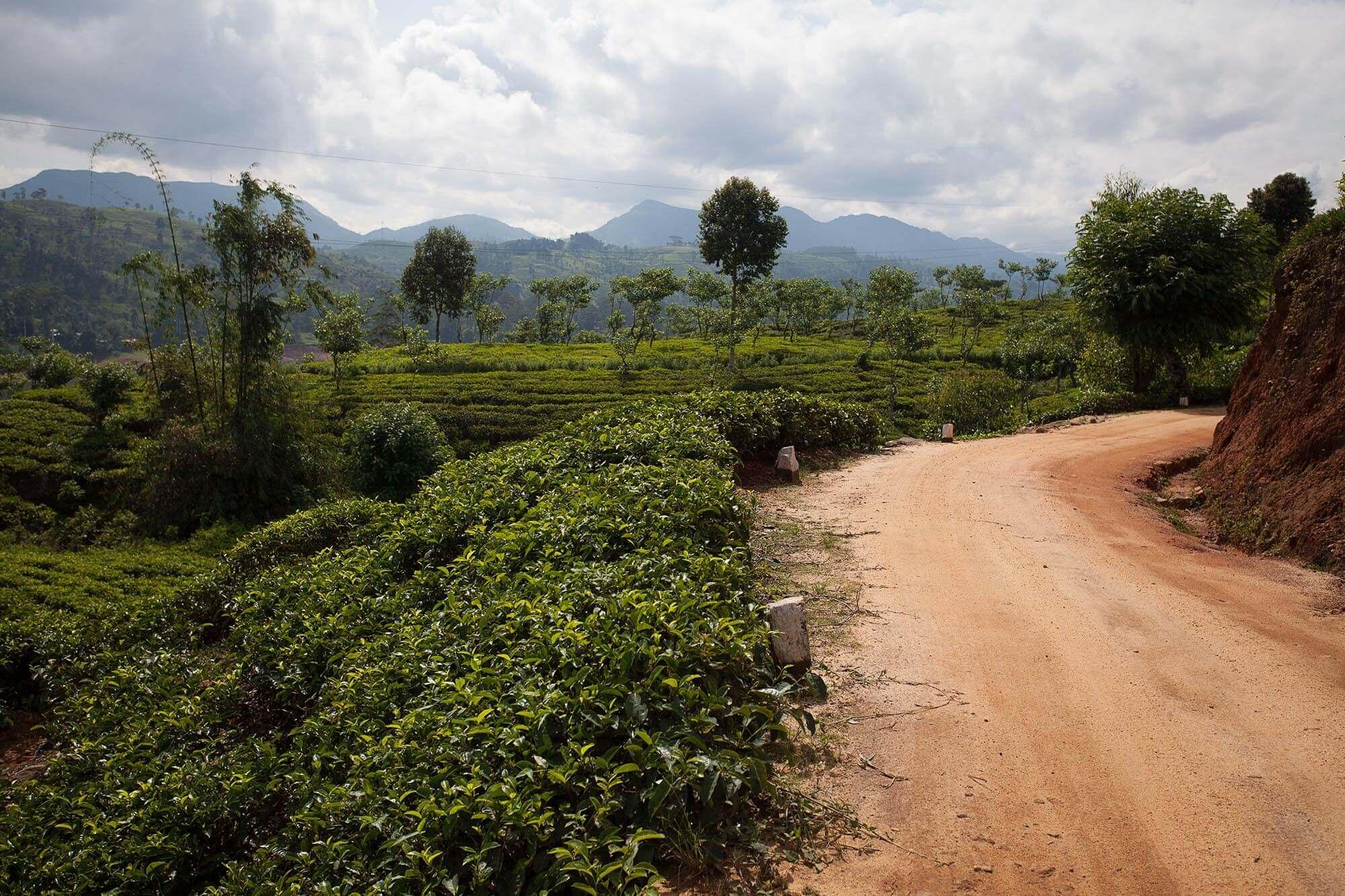 Wjazd na plantację herbaty Dunkeld na Sri Lance