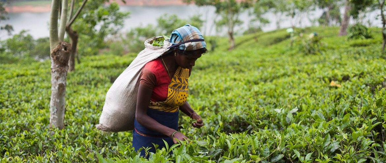 Kobieta zrywająca liście herbaty na Sri Lance