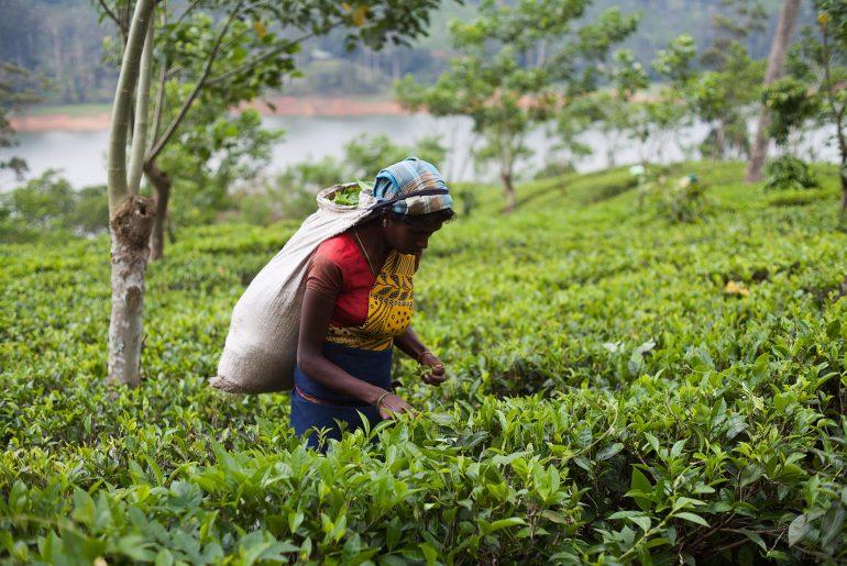 kobieta zbierająca herbatę na sri lance