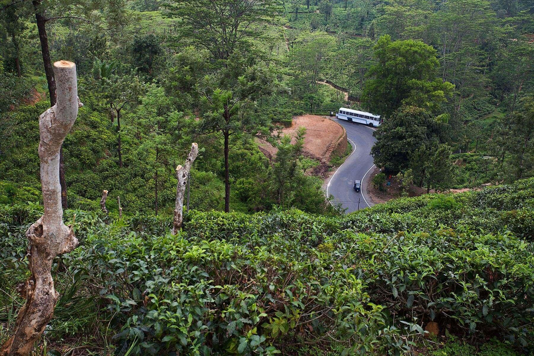 Plantacja herbaty na Sri Lance w okolicy Hatton