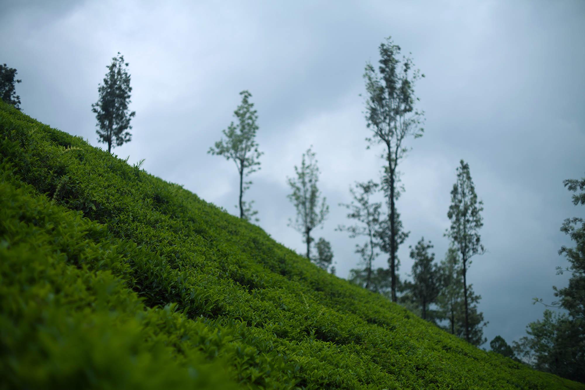 Zbocze pola herbacianego na Sri Lance.