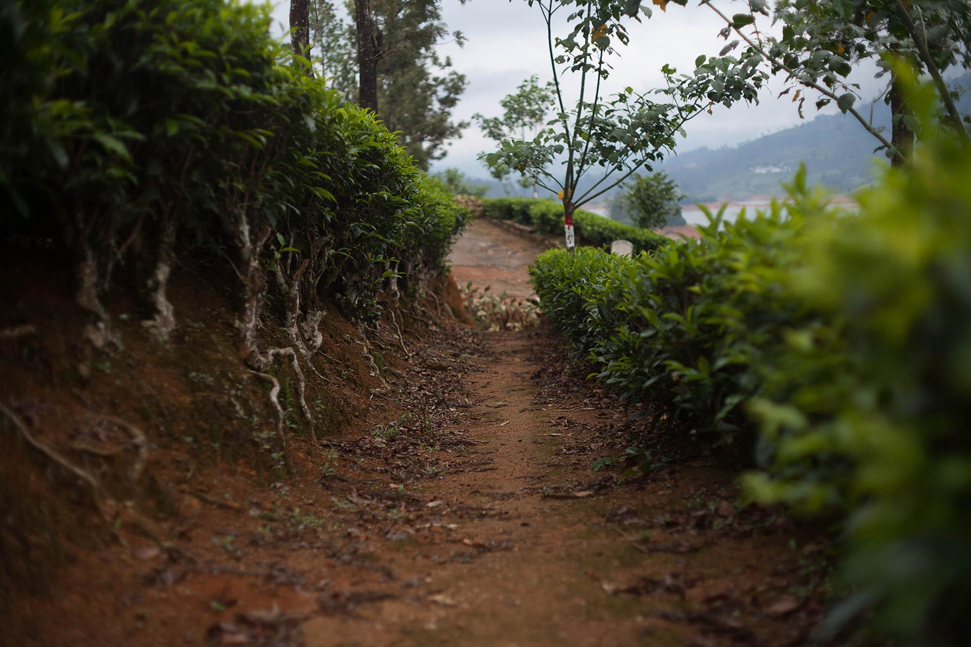 Przejście pomiędzy krzewami herbaty na polu herbacianym na Sri Lance