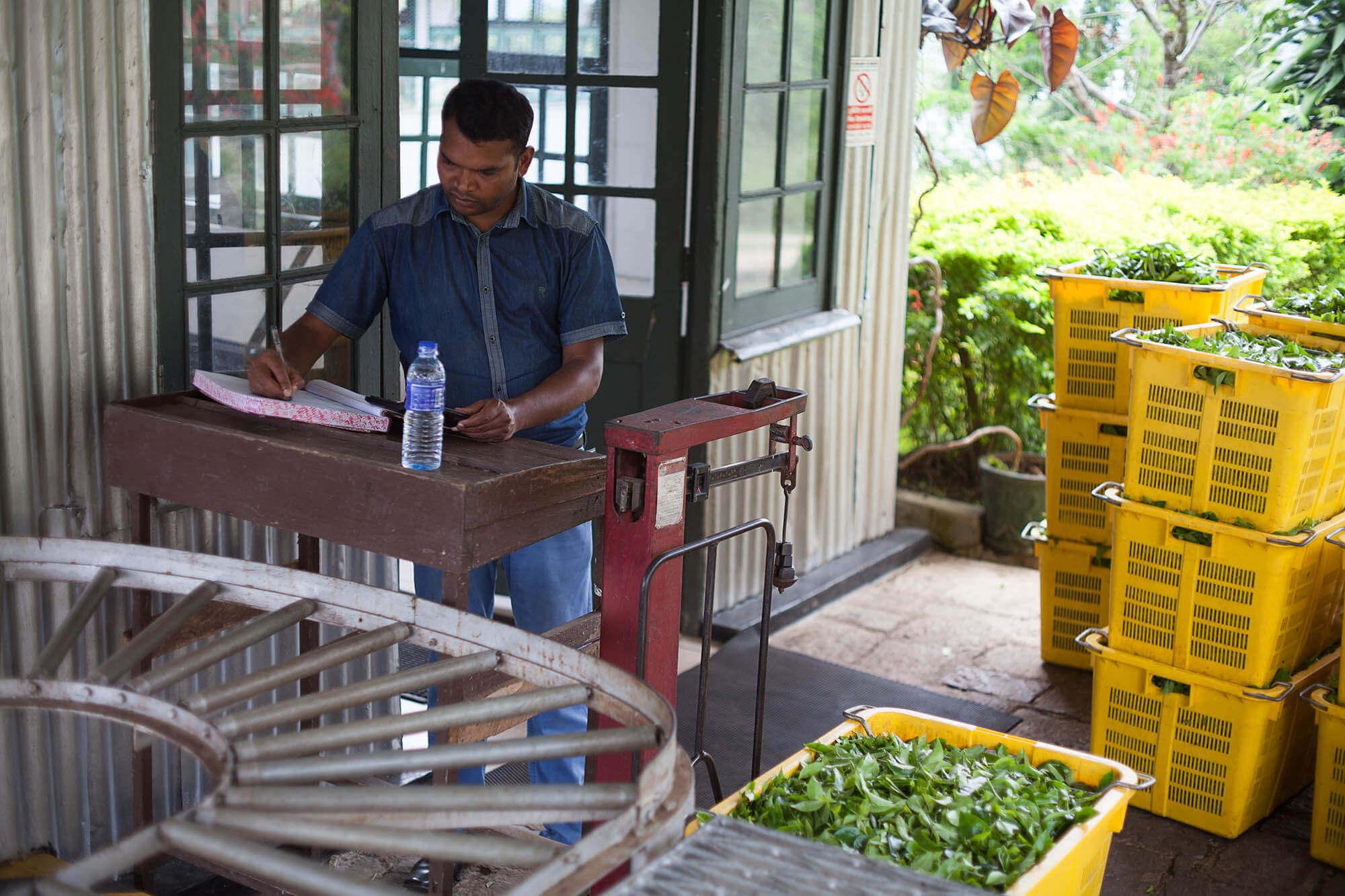 Ważenie herbaty na plantacji herbaty Dunkeld