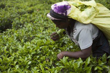 Kobieta zbierająca liście herbaty na Sri Lance