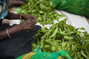Oczyszczanie liści herbaty ze zbędnych gałązek