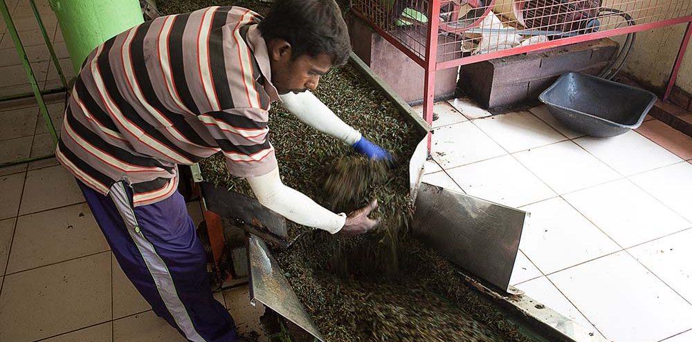 Pracownik fabryki herbaty przesiewający ręcznie liście herbaty