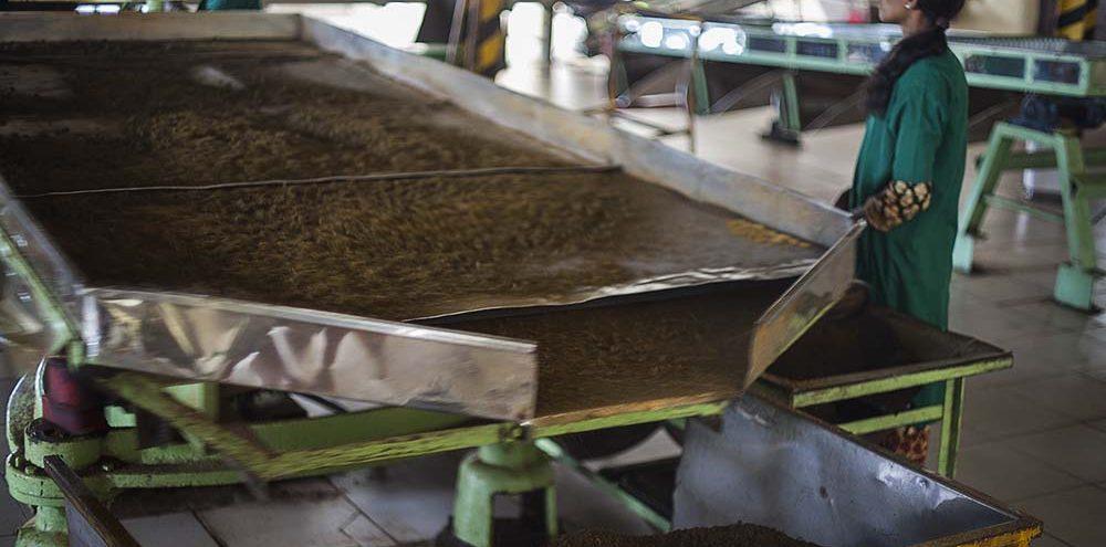 Maszyna studząca liście herbaty