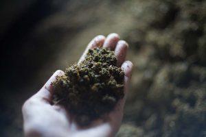 Liście herbaty na dłoni przed procesem suszenia