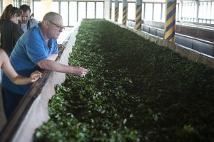 Maszyna pomagająca świeżo zerwanym liściom herbaty w prawidłowym więdnięciu