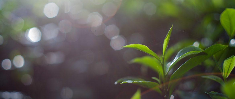 liście herbaty z pączkiem na krzewie camellii sinensis na plantacji herbaty