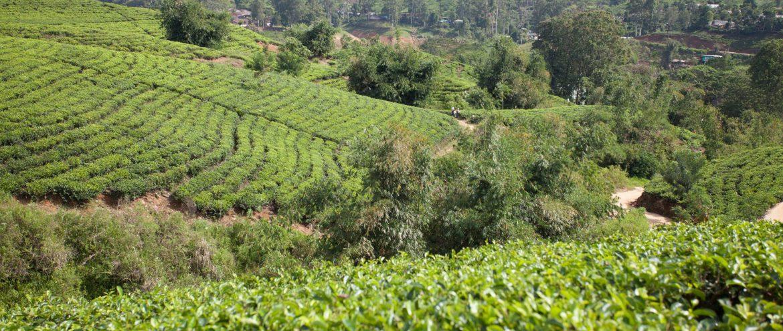 pole na którym uprawiana jest herbata zielona