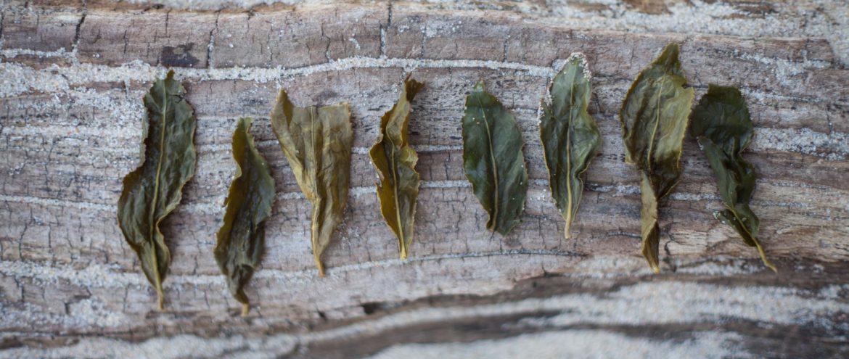 Rozwinięte liście herbaty oolong po zaparzeniu ułożone obok siebie na pniu drzewa