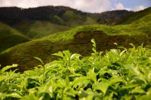 zbliżenie na liście herbaty na plantacji herbaty