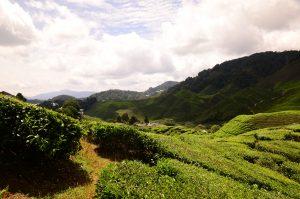 Widok na plantację herbaty Cameron Highlands w Malezji