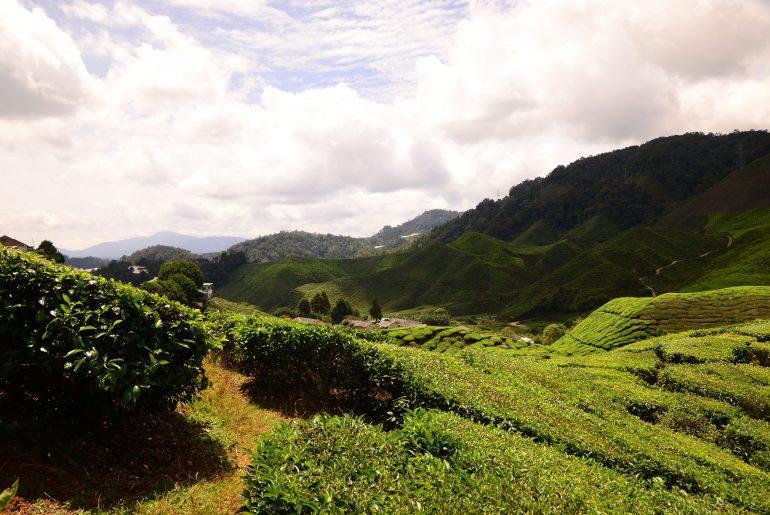 plantacja herbaty Cameron Highlands