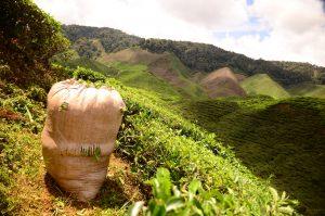 worek z herbatą na plantacji herbaty w Malezji